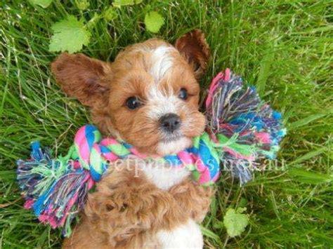 pawfect puppy pawfect puppies pawfect puppies