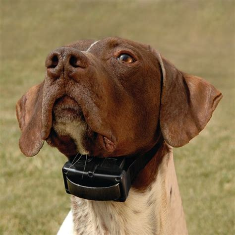 how tight should a collar be bark collars and the correct way to fit them for greater success bark