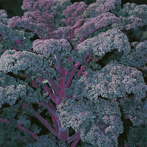 Seed Kale Curly 1 redbor f1 borecole curly kale seeds seeds