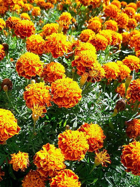 Marigold Flower Garden How To Grow Marigolds Gardenswag