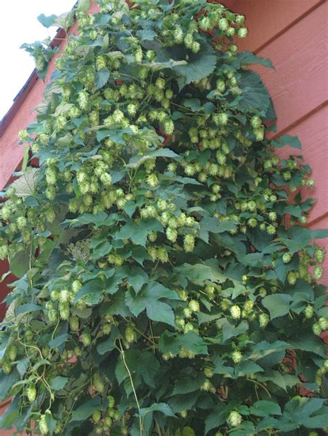 hops vine for the pergola love this climbers ramblers