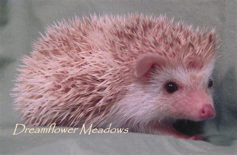 hedgehog colors hedgehog patterns dreamflower