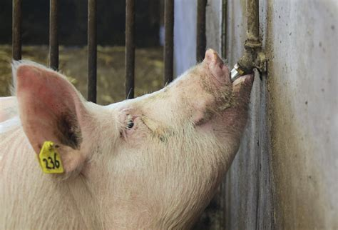 the importance of water for pigs kenniscentrum impex