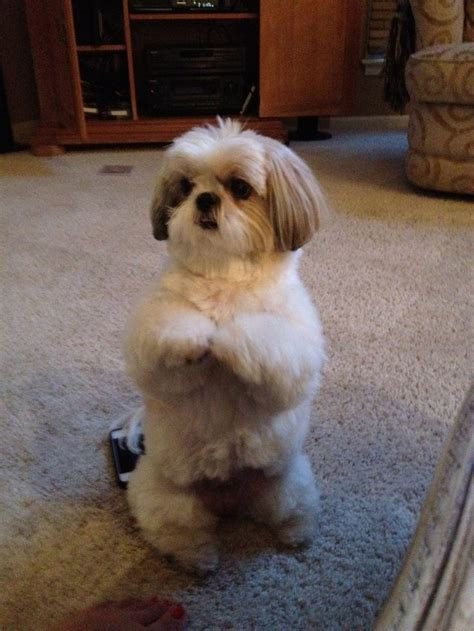 shih tzu play 597 best shih tzu pictures images on