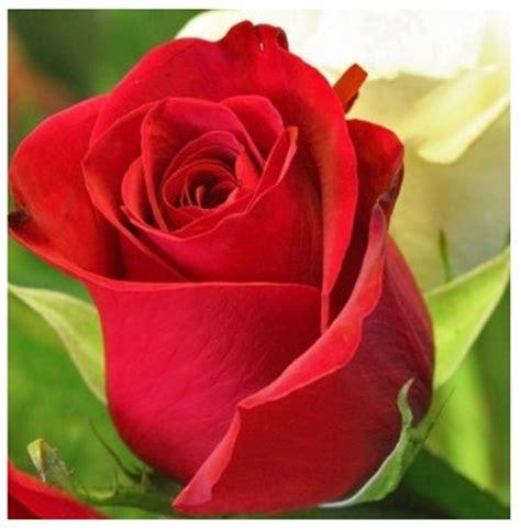imagenes bellas rojas rosas rojas para compartir imagen de rosas rojas