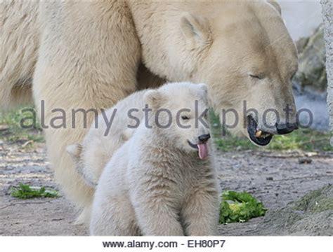two polar bears in a bathtub a polar bear ursus maritimus ours polair or ours blanc stockfoto lizenzfreies bild
