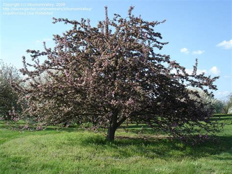 top 28 best time to prune crabapple trees pruning trees henry homeyer pruning crabapple
