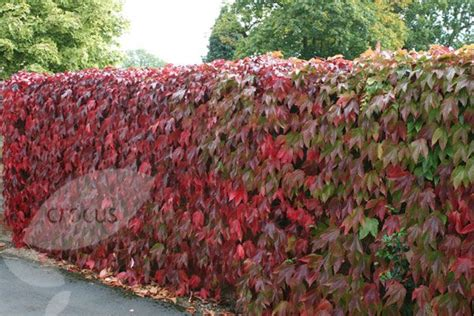 fast growing climbing plants for fences pin by jerry whidby on garden landscaping ideas