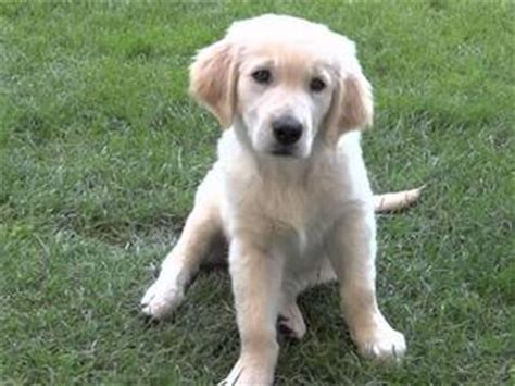 golden retriever puppies in scotland golden retriever puppy for sale scotland dogs our friends photo