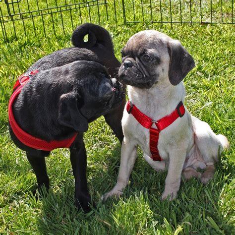 pug rescue oklahoma shelter oklahoma pug rescue