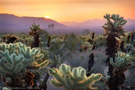 Cholla Cactus Garden by Cholla Cactus Garden