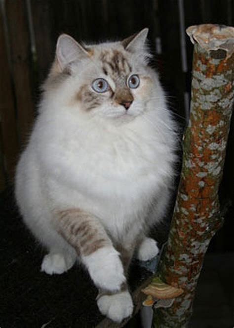ragdoll rag f 04 katt catlife se part 50