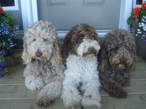 labradoodle colours and patterns explained isle