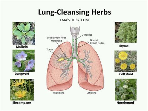 Herbal Teas For Lung Detox by Lung Cleansing Herbs Alternative Medicine