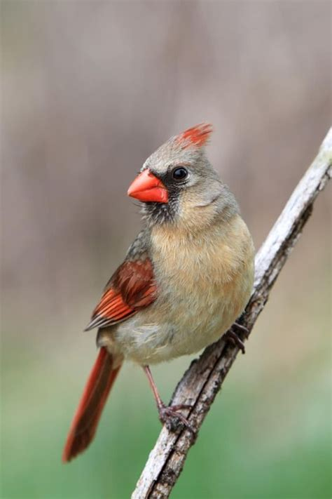 17 best images about cardinal on pinterest bird feeders