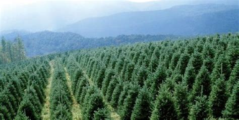 christmas trees a north carolina tradition