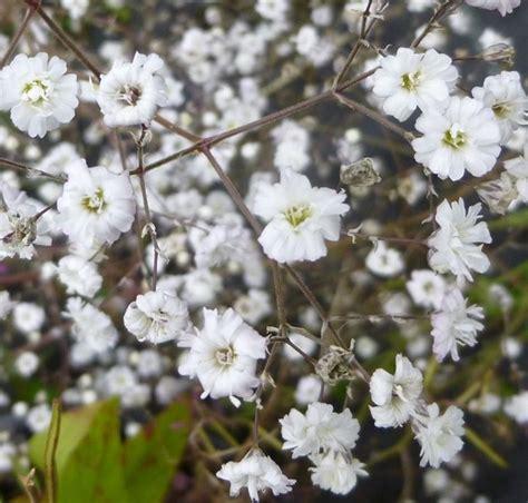 velo da sposa fiore fiore della nebbia velo di sposa gypsophila paniculata