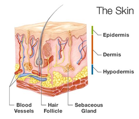 a protein that thickens and waterproofs the skin is how does the integumentary system help prevent dehydration
