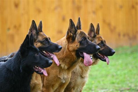 german shepherd puppy names name ideas for german shepherds slideshow