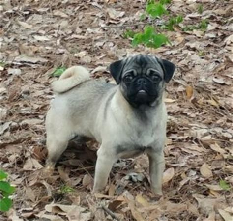 pug puppies in nc pug breeders in carolina south carolina nc sc carolina pugs