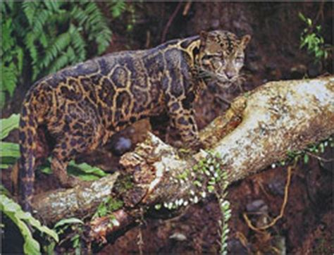 clouded leopard conservation  research  borneo