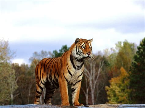 bengal tiger wallpaper pixelstalknet