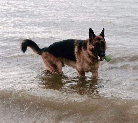 Kaos Need More Sleep kaos dorset rescue german shepherd dogs and puppies