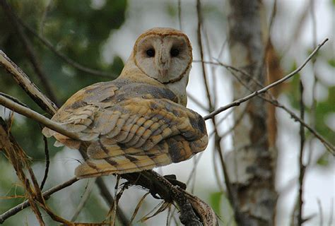 barn owl photos 169 bill schmoker