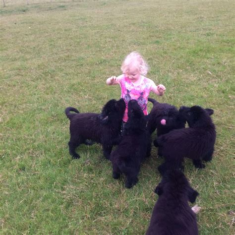 newfie puppies for sale newfoundland puppies for sale larkhall lanarkshire pets4homes