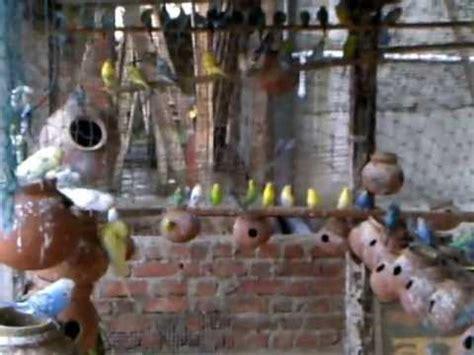 Parakeets / Lovebird Farm in Alibag (Aakshi) at Kokan ...