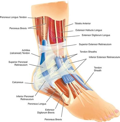 human tendons diagram diagram of ankle tendons