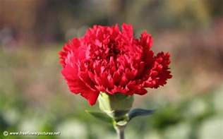 Carnations carnation pictures carnation flower pictures