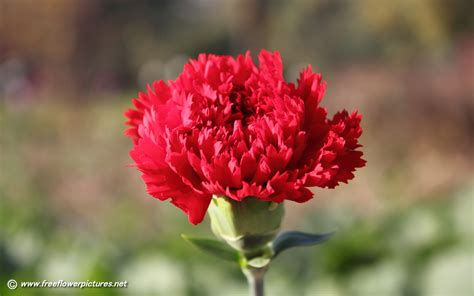 carnation flower carnation pictures carnation flower pictures