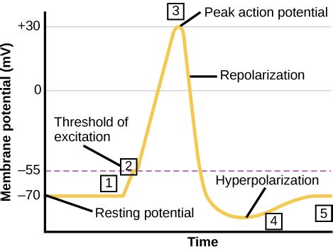 graph plots membrane potential  millivolts  time