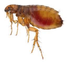 Flea Bombs That Work Wrexham Fleas 07916 322280 Wrexham Pest Control Experts