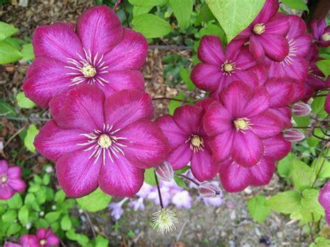 fiore clematis clematis piante da giardino fiore clematide
