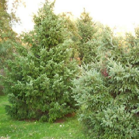 evergreen trees texture sharecg