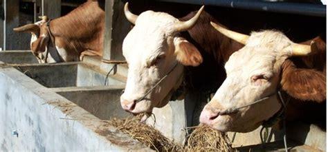 cara alami membuat pakan fermentasi ternak sapi soc hcs
