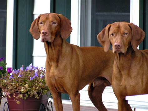 visla puppies vizsla breeders within the united states available vizsla puppies siggy s paradise