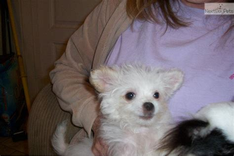 chipoo puppies for sale chi poo chipoo puppy for sale near jackson mississippi