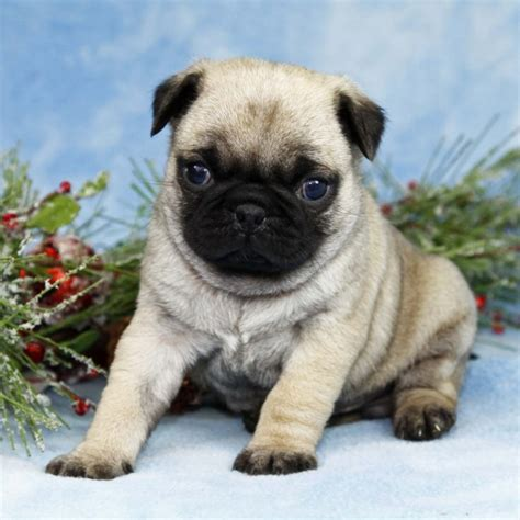 trained pugs for sale well trained pug puppies for adoption kildare dogs for sale puppies for sale