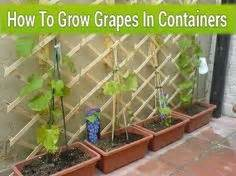 How To Grow Grapes In Your Backyard by How To Grow Grapes In Containers Gardening Container