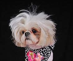 1000 images about barkley shih tzu hair cuts on pinterest 1000 images about shih tzu hairstyles on pinterest shih
