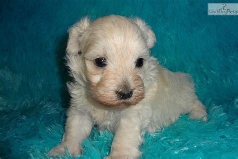 maltipoo puppies rescue meet koby a malti poo maltipoo puppy for sale for 600 adorable maltipoo puppy