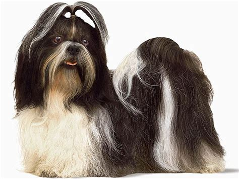 how many years does a shih tzu live living shih tzu 1001doggy