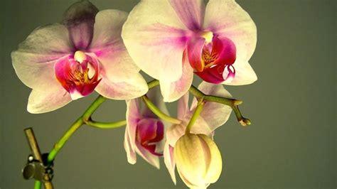 orchidea fiore cura fioritura orchidee cura orchidea coltivare orchidea