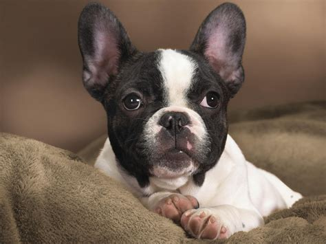 puppy boston terrier boston terrier dogs wallpaper 13248679 fanpop