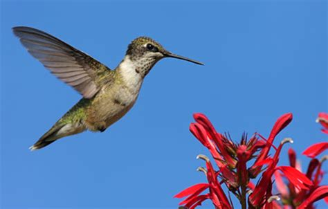 ruby throated hummingbird attracting birds birds and
