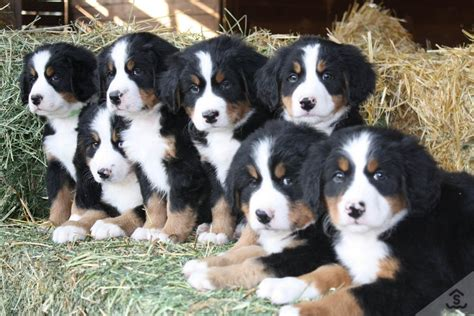 bernese mountain puppy ultimate sheet bernese mountain