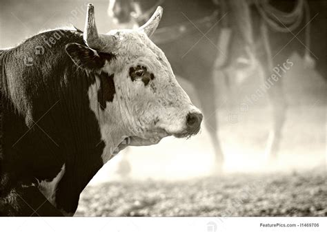 rodeo bull stock photo   featurepics